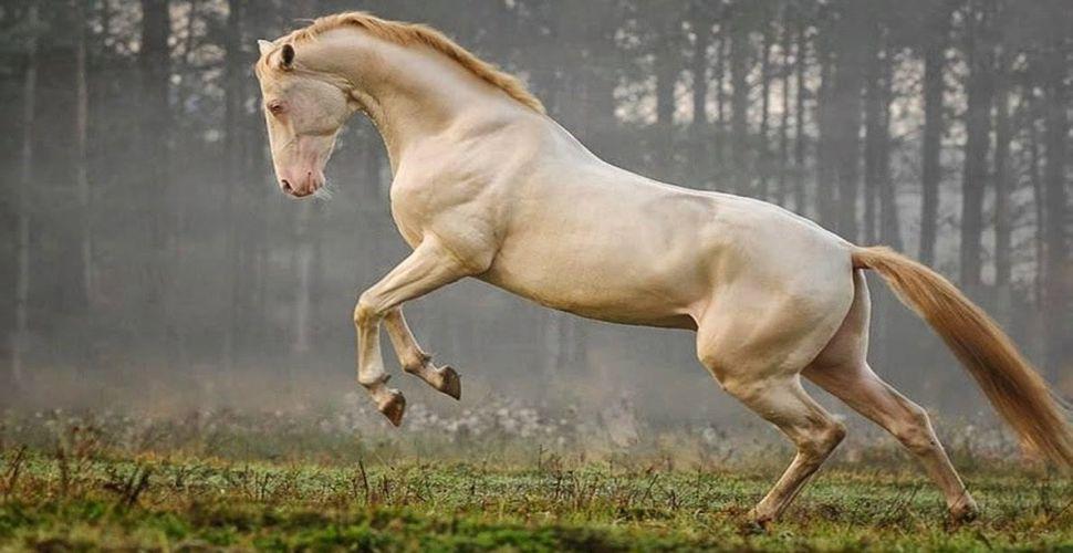 Dünyaya nam salmış Türk Atı