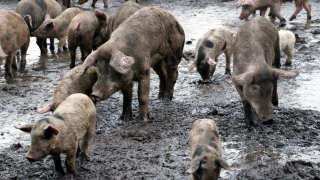 Yaban domuzları 4,9 milyon ton karbondioksit salıyor